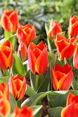 Tulip (Tulipa sp) treasure variety flowers  -  VisionsPictures