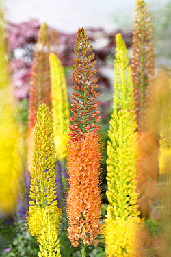 Foxtail Lily (Eremurus sp) ruiter's hybrids variety flowers  -  VisionsPictures