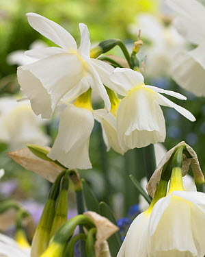 Daffodil (Narcissus sp) horn of plenty variety flowers  -  VisionsPictures