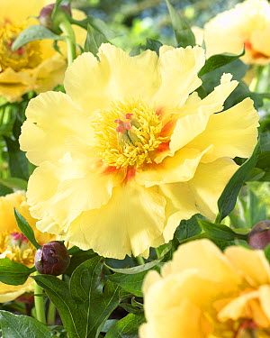 Peony (Paeonia sp) garden treasure variety flower  -  VisionsPictures