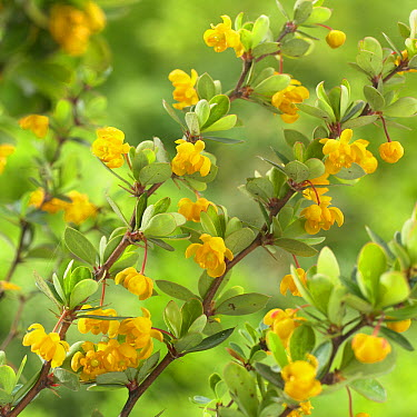 Magellan Barberry (Berberis microphylla) nana variety flowers  -  VisionsPictures