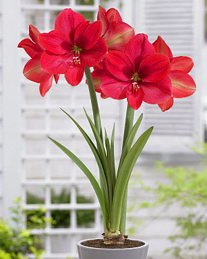 Amaryllis (Hippeastrum sp) flowers  -  VisionsPictures