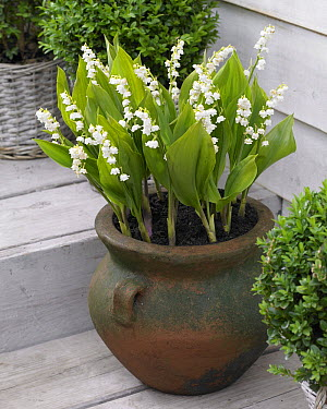 Lily Of The Valley (Convallaria majalis) bordeaux variety flowers  -  VisionsPictures