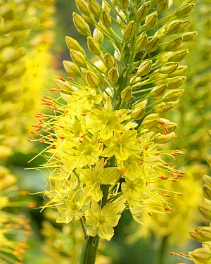 Foxtail Lily (Eremurus stenophyllus) flowers  -  VisionsPictures