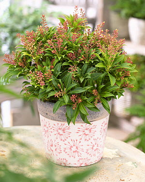 Japanese Pieris (Pieris japonica) purity variety  -  VisionsPictures