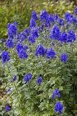 Carmichael's Monkshood (Aconitum carmichaelii) barker's variety flowers  -  VisionsPictures