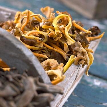 Winter Chanterelle (Craterellus tubaeformis) mushrooms  -  VisionsPictures
