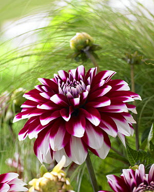 Dahlia (Dahlia sp) karma yin yang variety flower  -  VisionsPictures