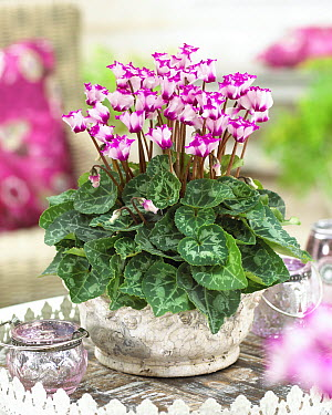 Cyclamen (Cyclamen sp) origami variety flowers  -  VisionsPictures