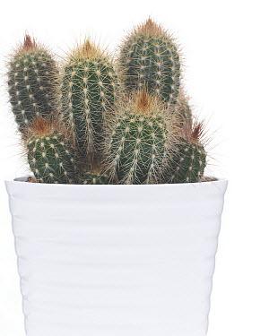 Cactus (Cactaceae)  -  VisionsPictures