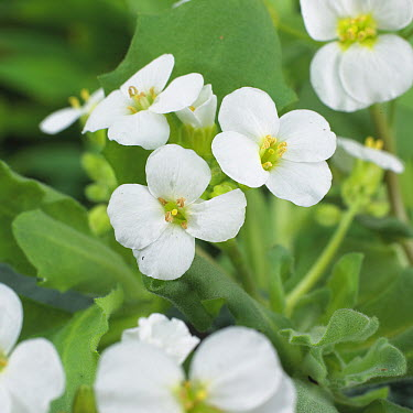 Garden Arabis (Arabis caucasica) little treasure white variety flowers  -  VisionsPictures