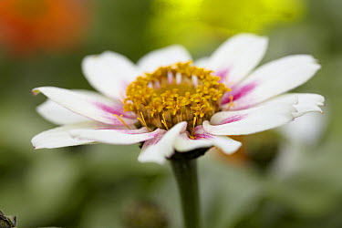 Zinnia (Zinnia sp) double starlight rose variety flower  -  VisionsPictures