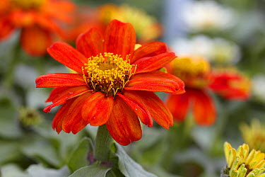 Zinnia (Zinnia sp) double zahara fire variety flower  -  VisionsPictures