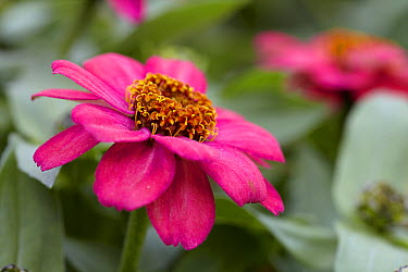Zinnia (Zinnia sp) double coral rose variety flower  -  VisionsPictures