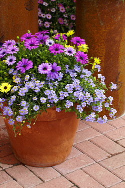 Cape Daisy (Osteospermum sp) bacopa variety flowers  -  VisionsPictures