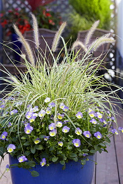 Pearl Millet (Pennisetum sp) viola variety  -  VisionsPictures