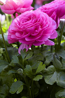 Persian Buttercup (Ranunculus asiaticus) pink shades variety flower  -  VisionsPictures