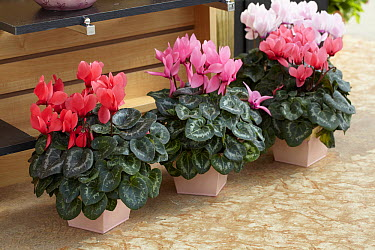 Cyclamen (Cyclamen sp) flowers  -  VisionsPictures