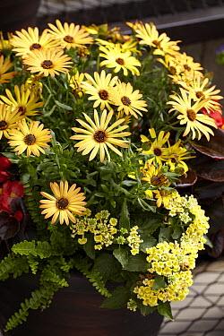 Cape Daisy (Osteospermum sp) lantana variety flowers  -  VisionsPictures