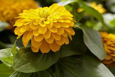 Zinnia (Zinnia sp) magellan yellow variety flowers  -  VisionsPictures