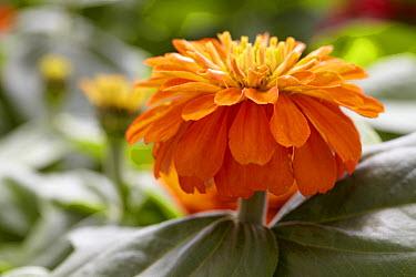 Zinnia (Zinnia sp) magellan orange variety flower  -  VisionsPictures