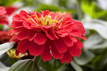 Zinnia (Zinnia sp) magellan coral variety flower  -  VisionsPictures