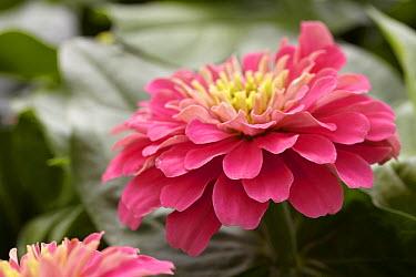 Zinnia (Zinnia sp) magellan pink variety flower  -  VisionsPictures