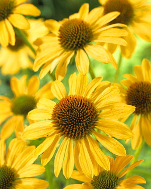 Coneflower (Echinacea sp) amber marmelade variety flowers  -  VisionsPictures