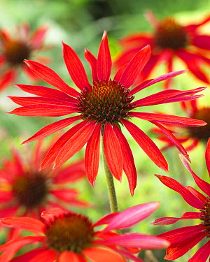 Coneflower (Echinacea sp) hot summer variety flowers  -  VisionsPictures