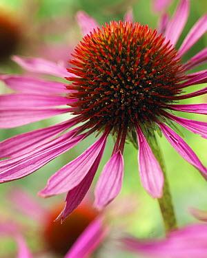 Coneflower (Echinacea sp) flower  -  VisionsPictures