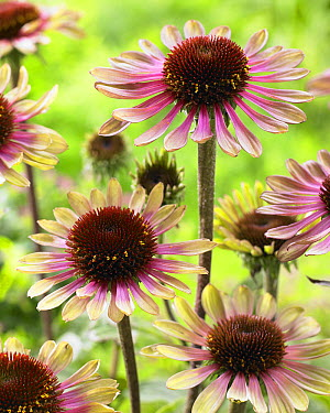 Coneflower (Echinacea sp) flowers  -  VisionsPictures