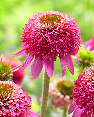 Coneflower (Echinacea sp) flower  -  VisionsPictures