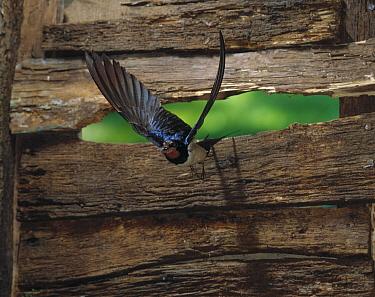 Barn Swallow (Hirundo rustica) flying through narrow crack, England  -  Stephen Dalton