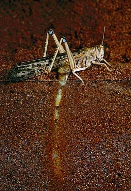 Desert Locust (Schistocerca gregaria) female laying eggs in sand, England  -  Stephen Dalton