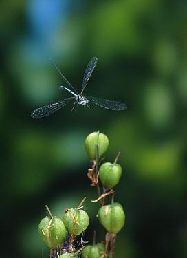 Azure Damselfly (Coenagrion puella) taking flight from Bluebell (Campanula rotundifolia)sead-head, England  -  Stephen Dalton