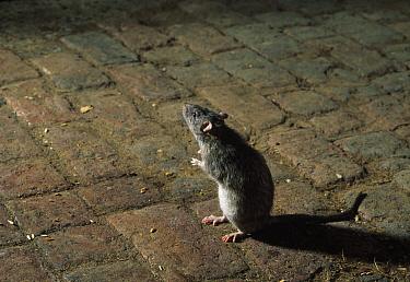Brown Rat (Rattus norvegicus) on brick floor, England  -  Stephen Dalton