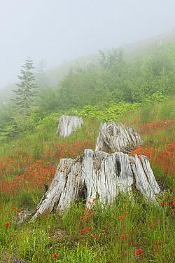 Wildflowers around tree stumps destroyed by eruption, Johnston Ridge, Mount St Helens Volcanic National Monument, Washington  -  Kevin Schafer