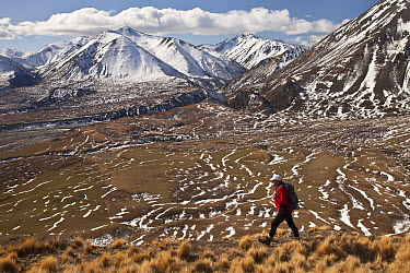 Hiker descends hill of Tussock Grass (Poa flabellata) above Lake Heron Station, Canterbury, New Zealand  -  Colin Monteath/ Hedgehog House