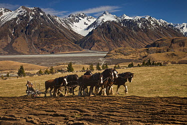 Domestic Horse (Equus caballus) Clydesdale breed ploughing field, Erewhon Station, Rangitata River Valley, Canterbury, New Zealand  -  Colin Monteath/ Hedgehog House