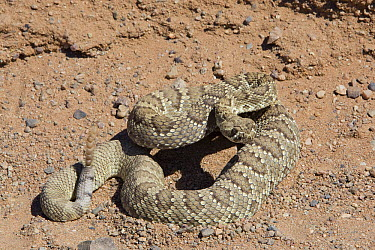 Mojave Rattlesnake (Crotalus scutulatus) showing rattle, Rainbow Basin natural Area, Mojave Desert, California  -  Richard Herrmann