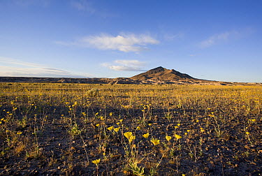 Desert Sunflower (Geraea canescens), Tecopa Mountain, Amargosa Desert, California  -  Richard Herrmann