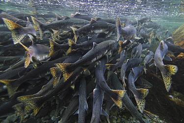 Pink Salmon (Oncorhynchus gorbuscha) spawning mass, Prince William Sound, Alaska  -  Hiroya Minakuchi