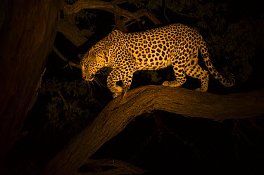 Leopard (Panthera pardus) female descending tree at night, Moremi Game Reserve, Okavango Delta, Botswana  -  Pete Oxford