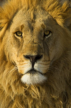 African Lion (Panthera leo) male portrait, Moremi Game Reserve, Okavango Delta, Botswana  -  Pete Oxford