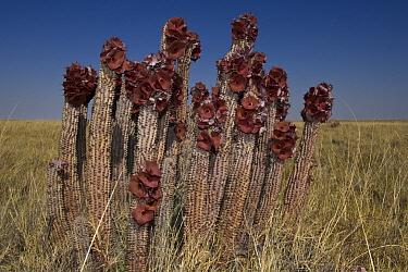 Hoodia (Hoodia lugardii) succulent flowering, Makgadikgadi Pans, northeast Botswana  -  Pete Oxford