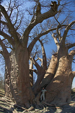 Baobab (Adansonia digitata) and tourist to show size of the tree, Makgadikgadi Pans, Kalahari Desert, Botswana  -  Pete Oxford