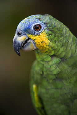 Orange-winged Parrot (Amazona amazonica), Amazon Rainforest, Ecuador  -  Pete Oxford
