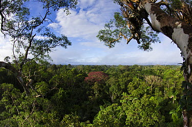 Rainforest canopy, Yasuni National Park, Amazon Rainforest, Ecuador  -  Pete Oxford