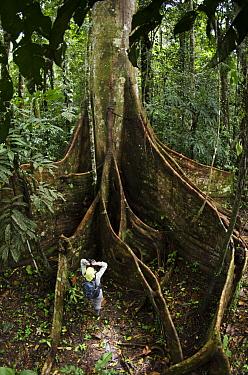 Kapok (Ceiba sp) buttress roots and tourist, Yasuni National Park, Amazon Rainforest, Ecuador  -  Pete Oxford
