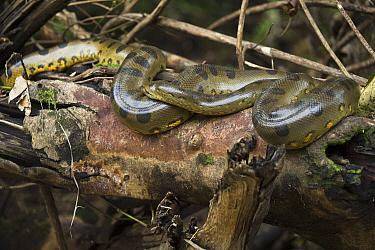 Green Anaconda (Eunectes murinus) in tree, Tiputini River, Yasuni National Park, Amazon Rainforest, Ecuador  -  Pete Oxford